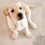 How to remove and clean pet hair, stains and urine in your home